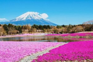 富士山と芝桜の絶景