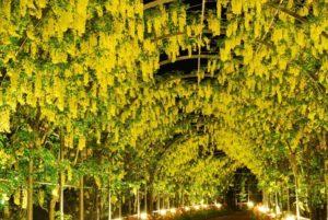 足利フラワーパーク 黄色の藤の花