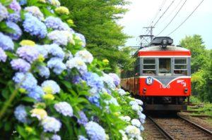 あじさいとレトロなタイプの箱根登山電車