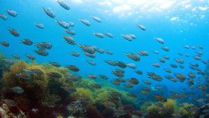 ヒリゾ浜の魚影