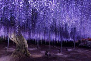 足利フラワーパーク 紫色の藤の花