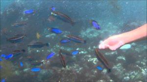 ヒリゾ浜の魚