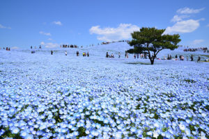茨城県ひたちなか市にあるネモフィラの丘