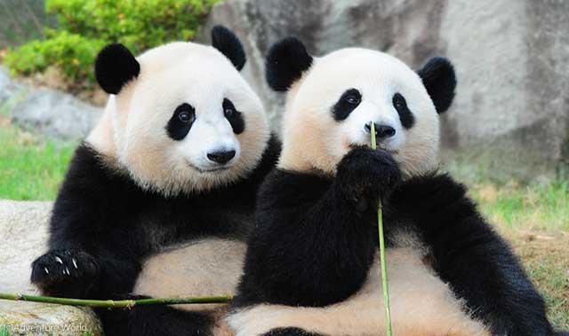 ココならゆっくり見れる 関西のパンダがたくさんいる動物園って