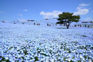 国営ひたち海浜公園ネモフィラの丘