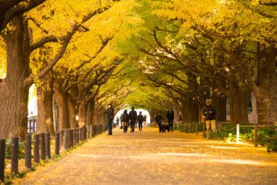 神宮外苑のいちょう並木2