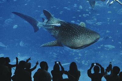 沖縄美ら海水族館ジンベイザメ1