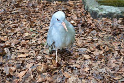 野毛山動物園 飛べない鳥カグー