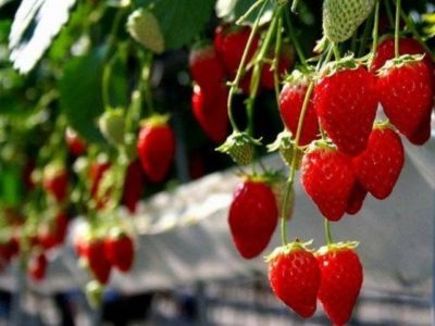 県内でも有数のいちごの産地