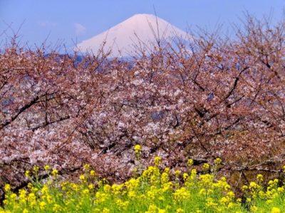 吾妻山公園 菜の花 桜