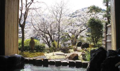 湯河原温泉「ふきや旅館」露天岩風呂からの桜