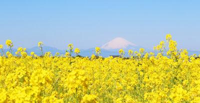 長井海の手公園 ソレイユの丘 菜の花 富士山