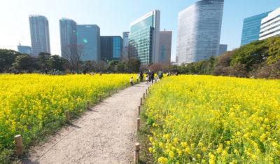 浜離宮恩賜庭園<はまりきゅう>菜の花畑