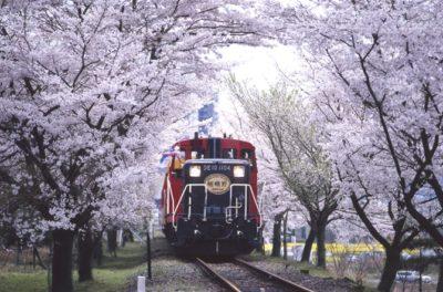 満開の桜の中を走るSL