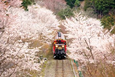 トロッコ亀岡駅手前の桜のトンネル