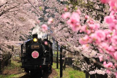 大井川鐵道 家山の桜トンネル2